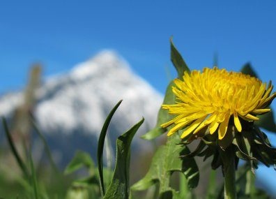 Spring flower blooming near mountains.